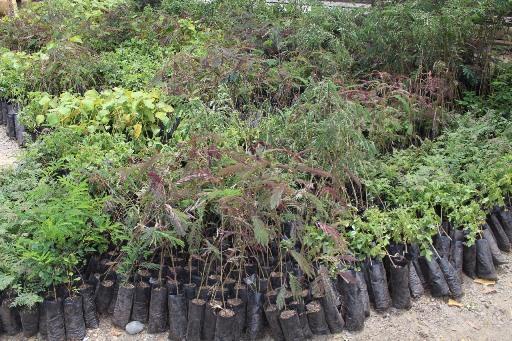 Obando reverdece con siembra de árboles nativos