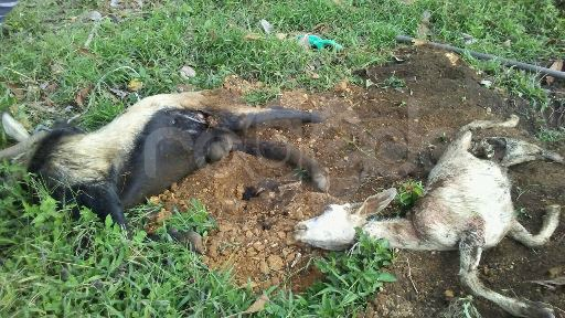 En El Cairo reportan caso de animales atacados por extraña criatura